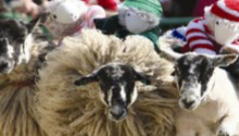 Money off The Big Sheep tickets!