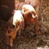 >Piglets Farm